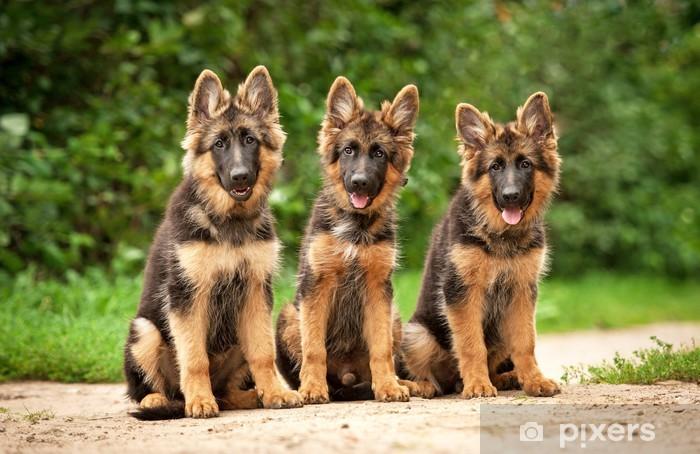 Duitse herder pups met grote oren